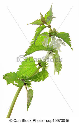 Stock Photography of White Dead Nettle (Lamium album) isolated in.