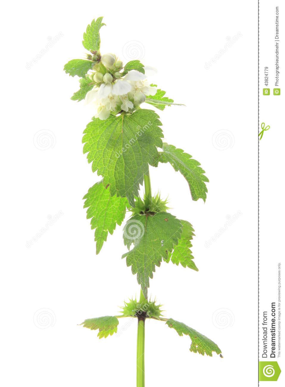 White Dead Nettle (Lamium Album) Stock Photo.