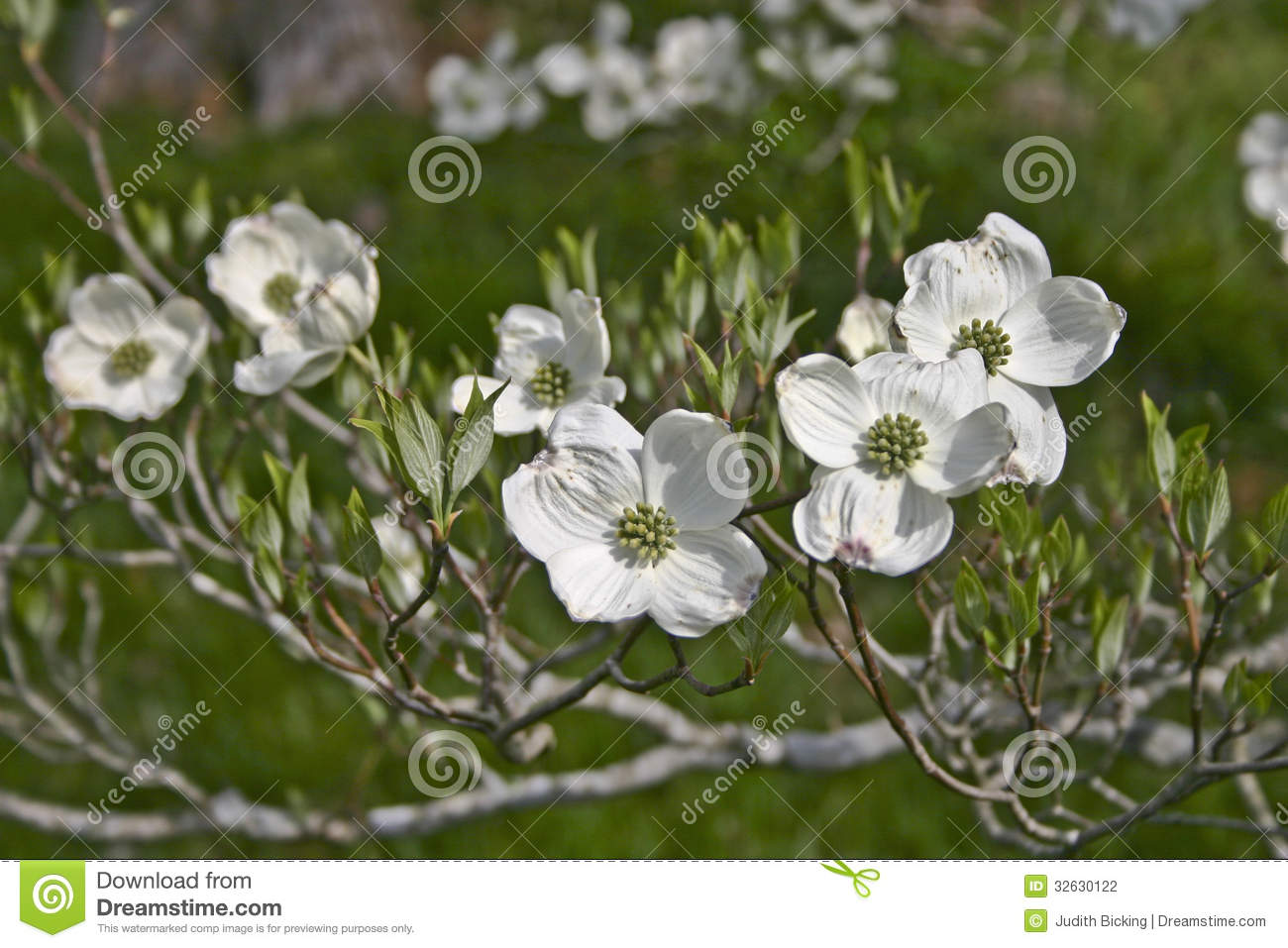 Dogwood Flowers And Tree Branch Stock Vector.