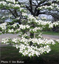 White Dogwood Flower.