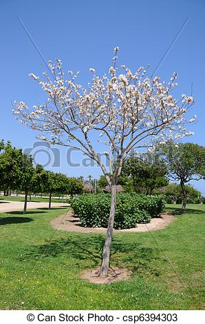 Stock Photos of White Dogwood Tree Blooming.