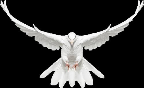 White Dove in Flight Free Clip.