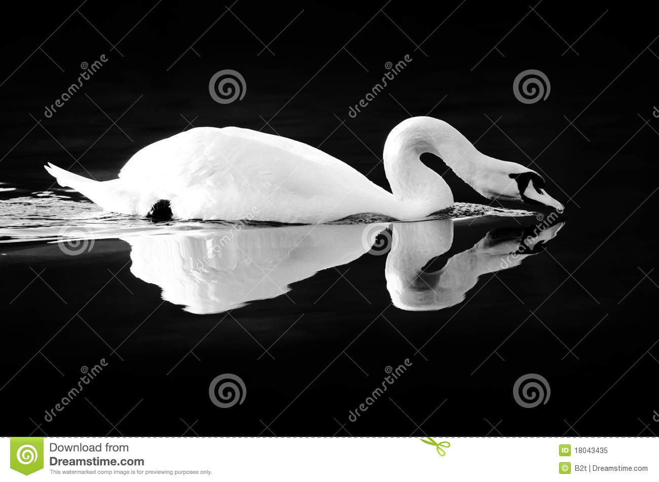 Swan Reflecting On Black Water Royalty Free Stock Photo.