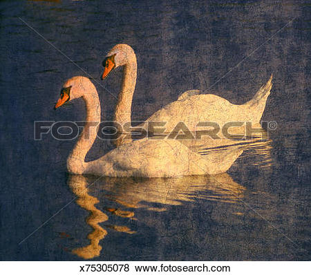 Pictures of Pair of white swans reflected in calm water x75305078.