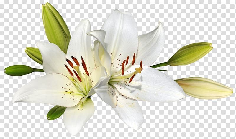 White lily flowers, Easter lily Flower , lilies transparent.