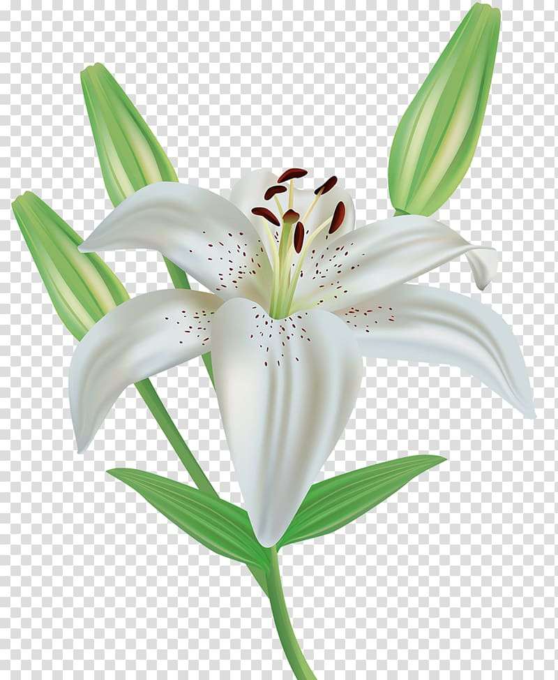 White lily art, Easter lily Flower Lilium candidum , A lily.