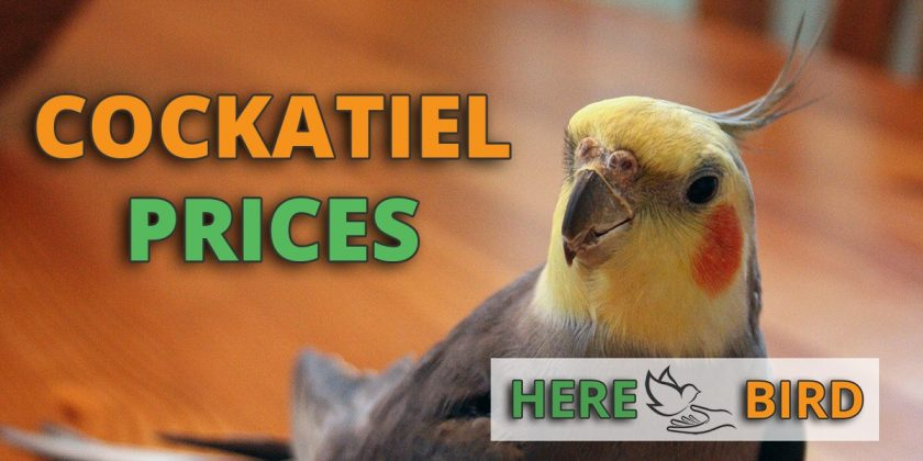 Cockatiel Prices: How Much Are Coaktiels Going To Cost You?.