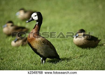 Pictures of White faced Whistling duck from Madagascar k2349768.