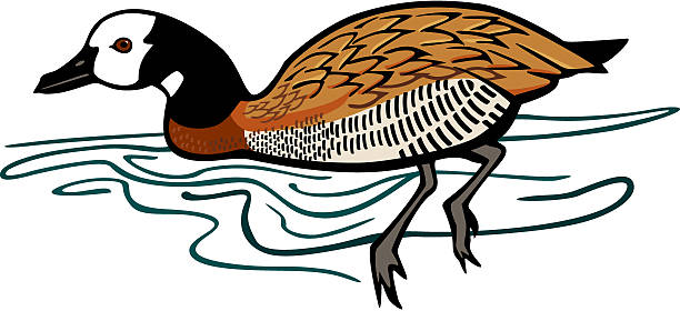 White Faced Whistling Duck Clip Art, Vector Images & Illustrations.