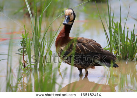 White Faced Whistling Duck Stock Photos, Images, & Pictures.