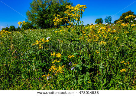 Groundsel Stock Images, Royalty.