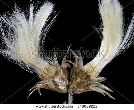 """""""seed Dispersal"""" Stock Photos, Royalty."""