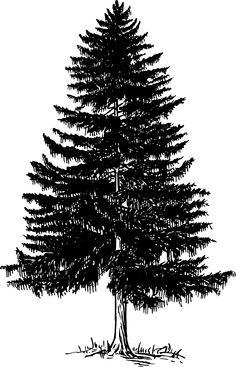 Douglas Fir Tree Clip Art.