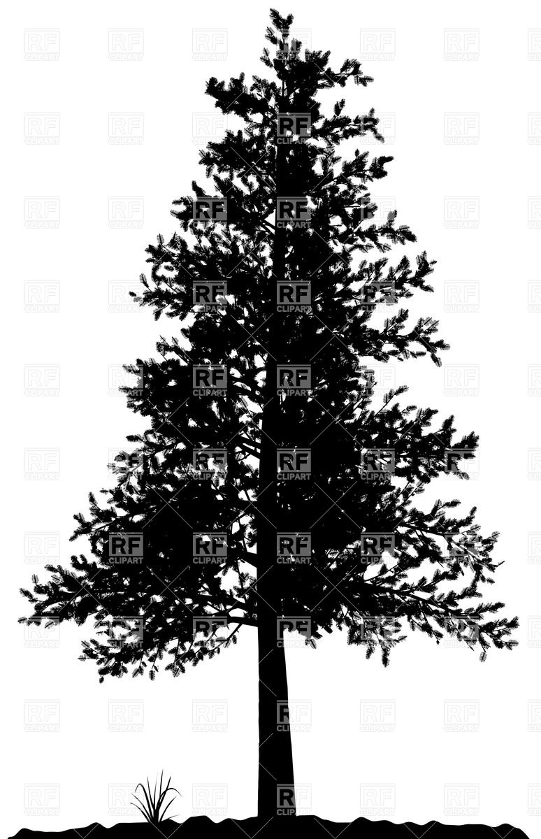 High detailed pine tree silhouette on white background Vector.