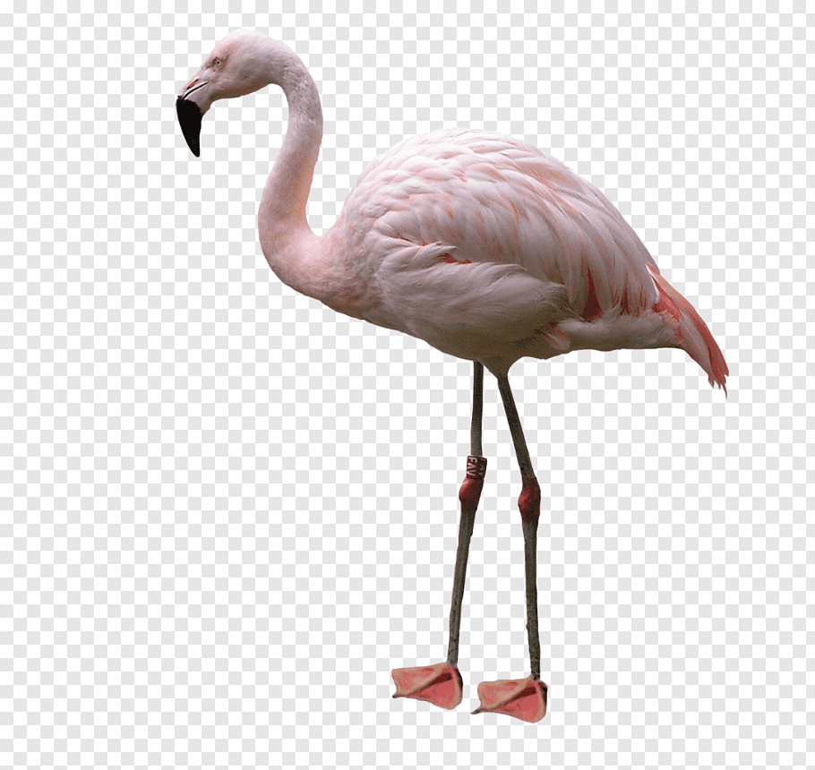 Pink and white flamingo bird, Bird American flamingo.