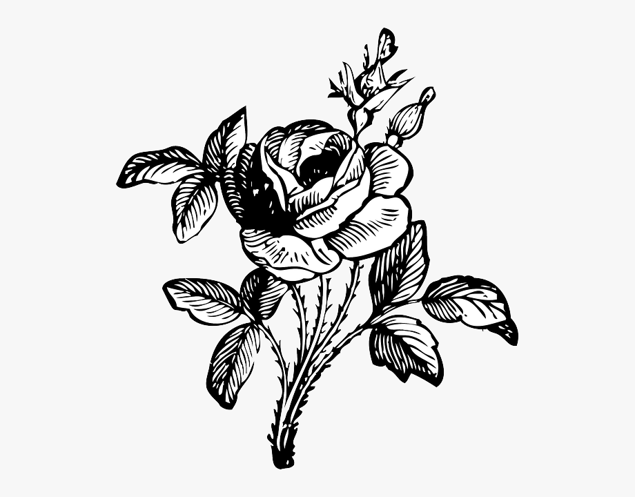 Rose, Black And White, Floral, Bloom, Blossom, Stem.