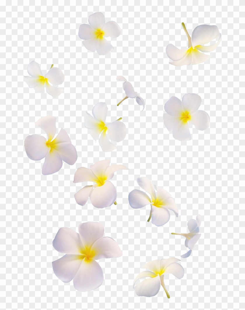 Flowers White White Flolwers Falling Many Overlay Png.