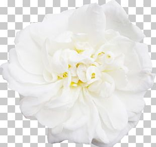 White Flower PNG Images, White Flower Clipart Free Download.