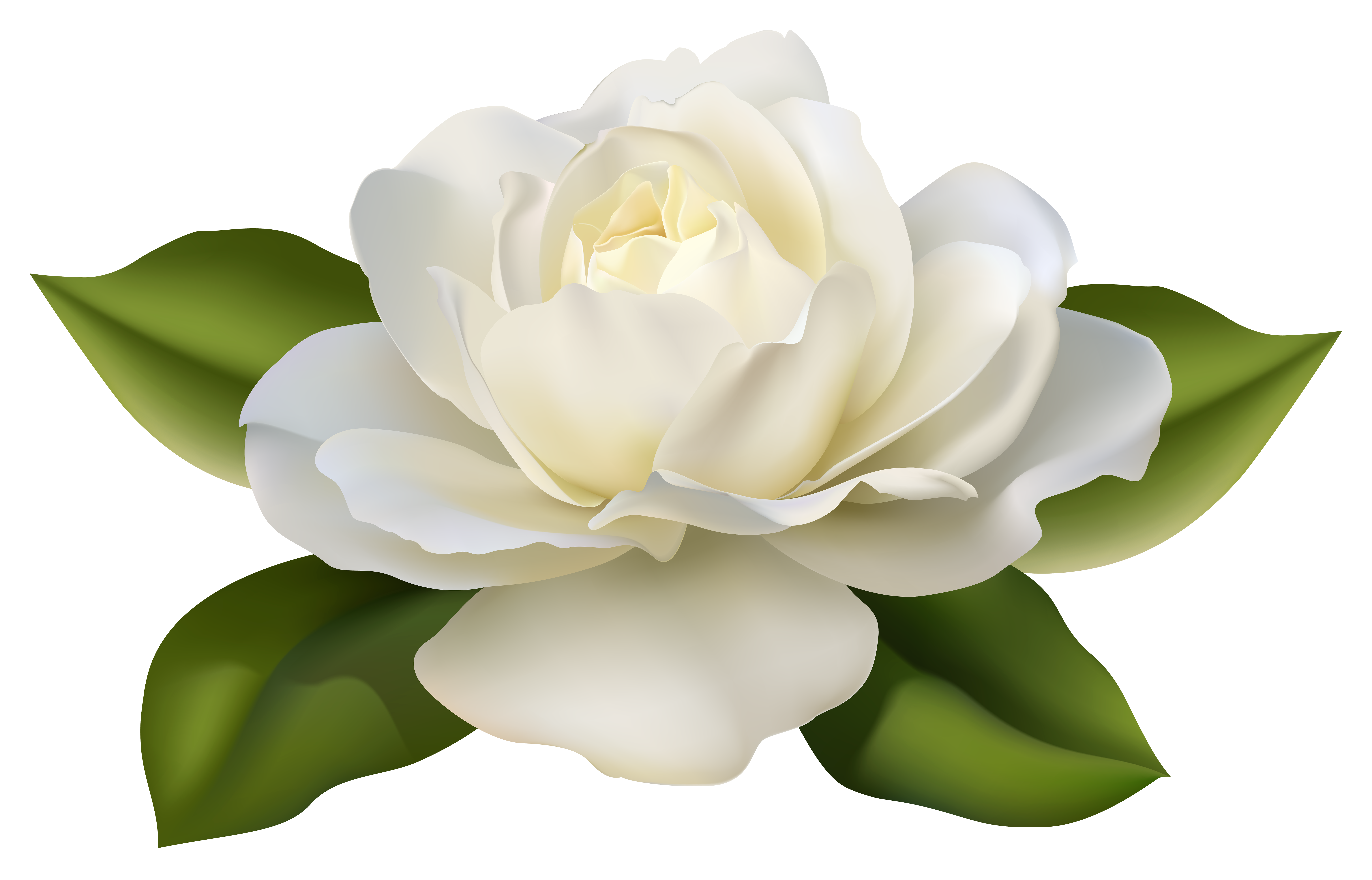 Beautiful White Rose with Leaves PNG Image.