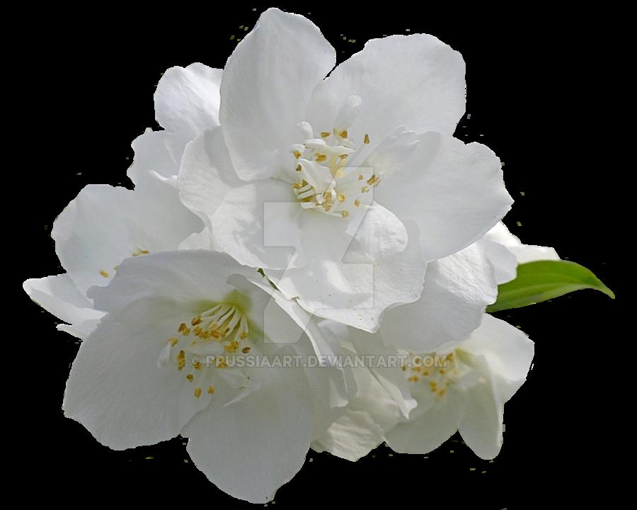 Flower Arabian jasmine Desktop Wallpaper Clip art.