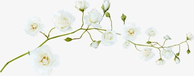 Pretty White Flowers PNG, Clipart, Branches, Flowers, Flowers.
