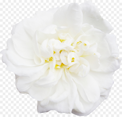 White peony decoration Flowers PNG.