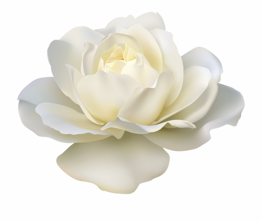 Rose Flower White.