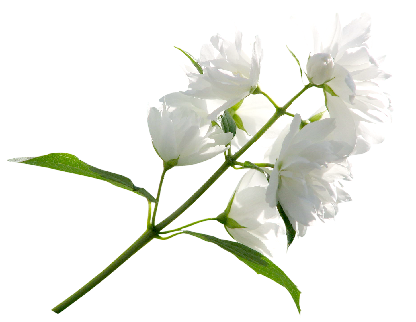 White Flower PNG Clipart Image.