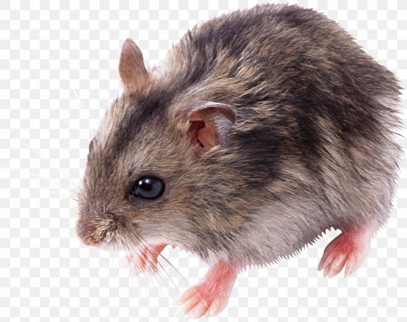 Rat Mouse Clip Art, PNG, 1928x1529px, Mouse, Computer Mouse.