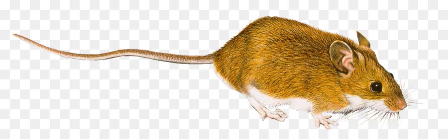 Rat Computer mouse Clip art.