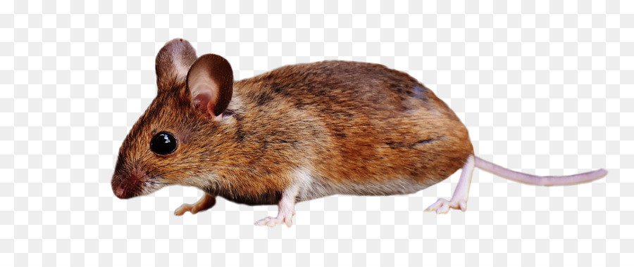 Rat Cartoon clipart.
