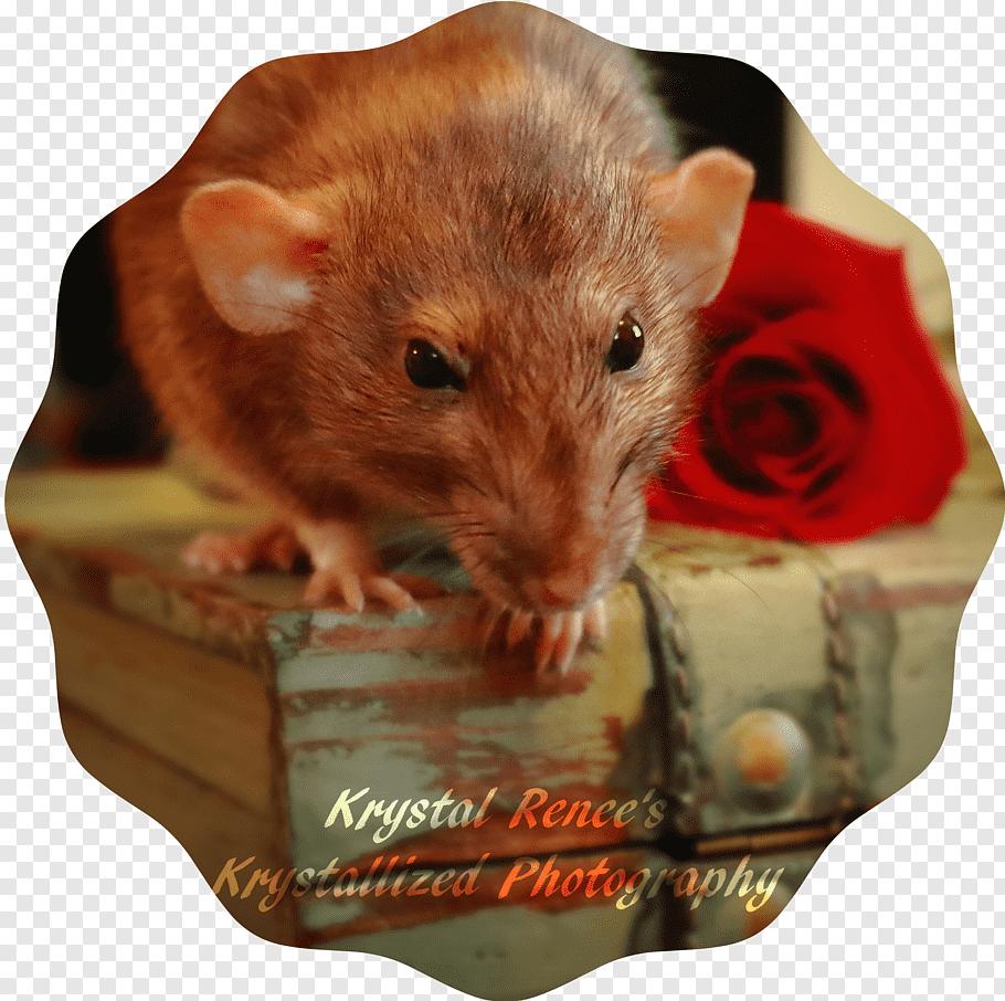 Kangaroo, Rat, Gerbil, Hamster, Common Degu, Dormouse, Texas.