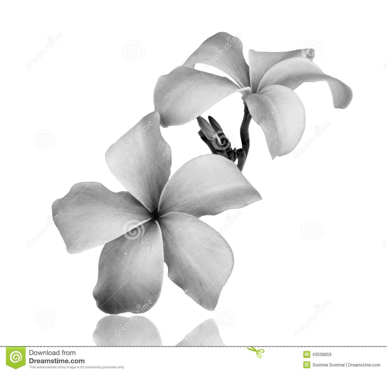Frangipani Flower Black And White Stock Photo.