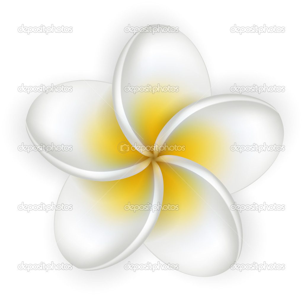 White plumeria (frangipani) flower. — Stock Vector © Svetlaboro.