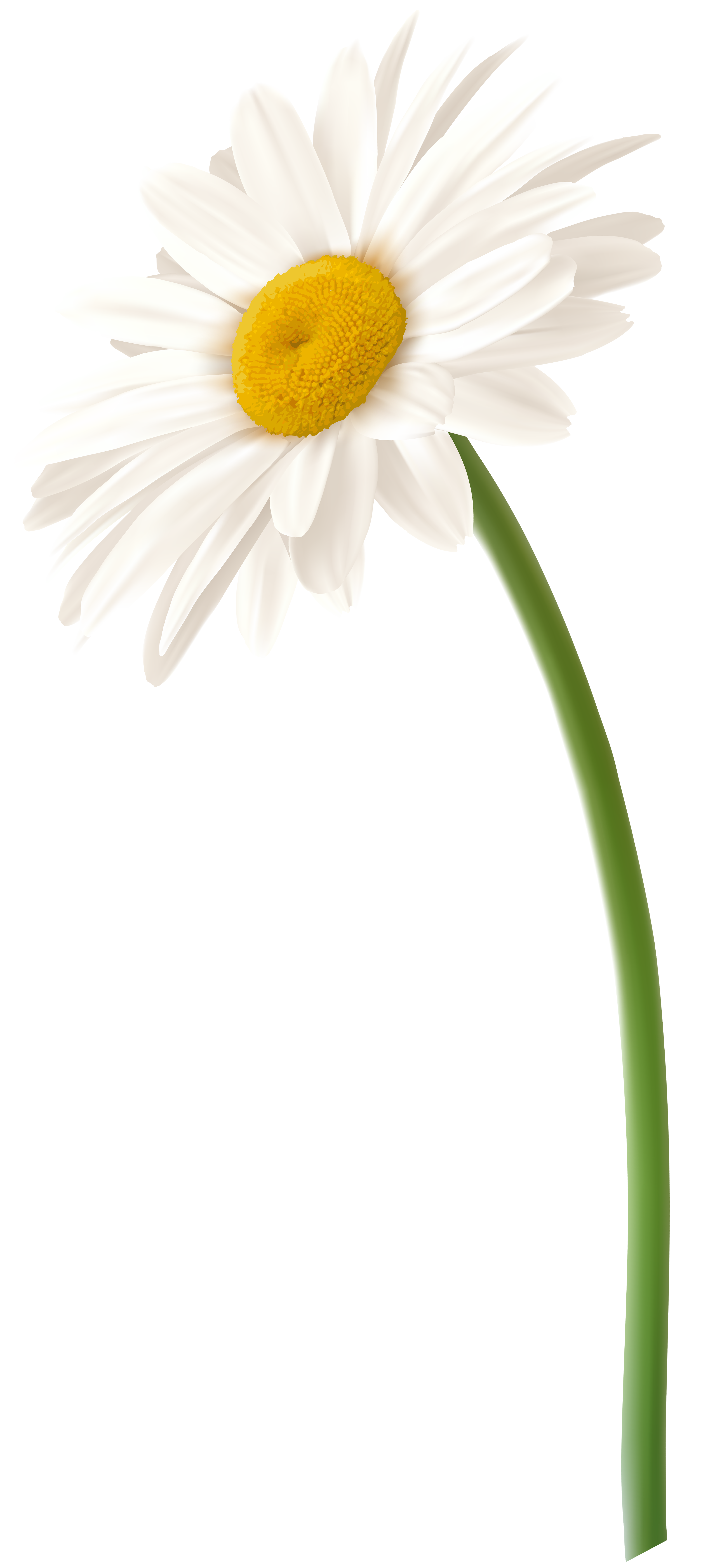 White Gerbera Flower PNG Clip Art Image.