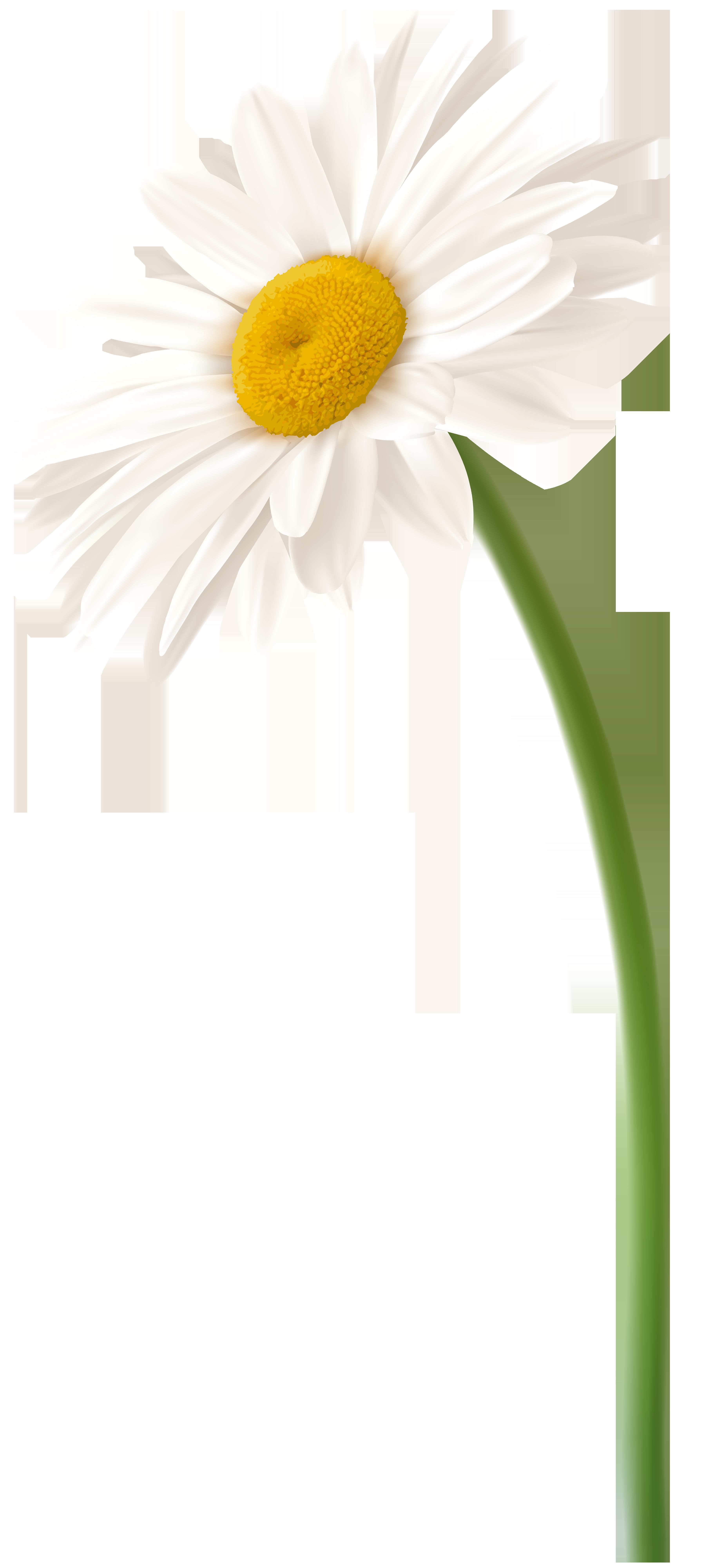 White Gerbera Flower PNG Clip Art Image.