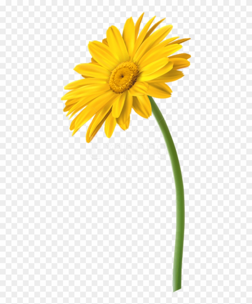 Free Png Yellow Gerbera Flower Png Images Transparent.