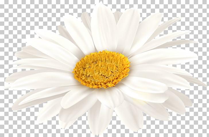 Oxeye daisy Transvaal daisy Chrysanthemum Floristry Petal.