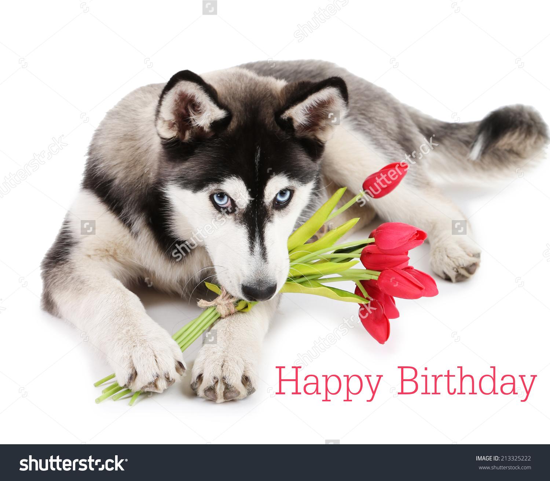 White Husky Happy Birthday Clipart Clipground