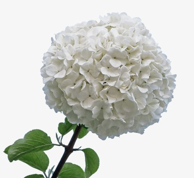 A Wooden White Hydrangea PNG, Clipart, Florid, Flowers.