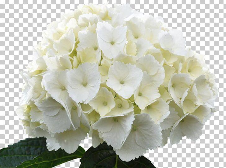 French Hydrangea Hydrangea Arborescens White Flower Green PNG.