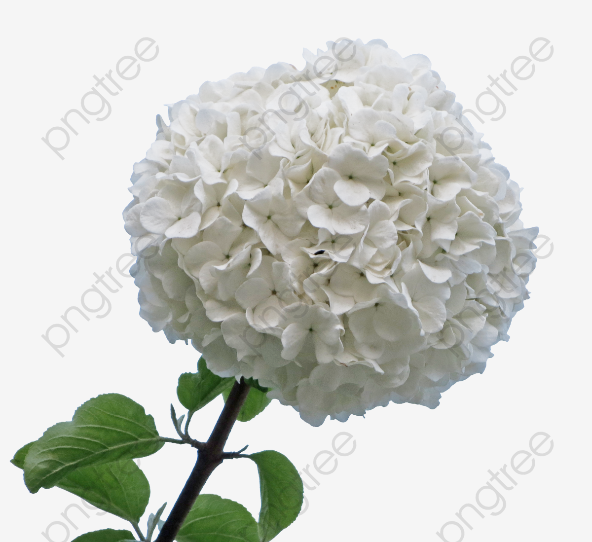 A Wooden White Hydrangea, Flowers, Shrubs, Patio Flowers PNG.