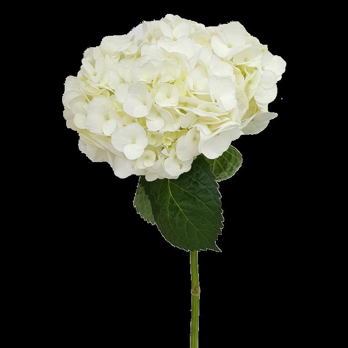 Hydrangea White Select.
