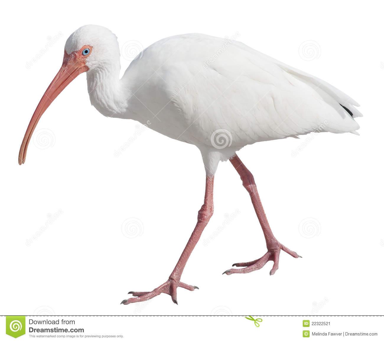 White Ibis Stock Photo.
