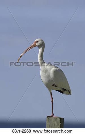 Pictures of White Ibis standing on one leg 837r.