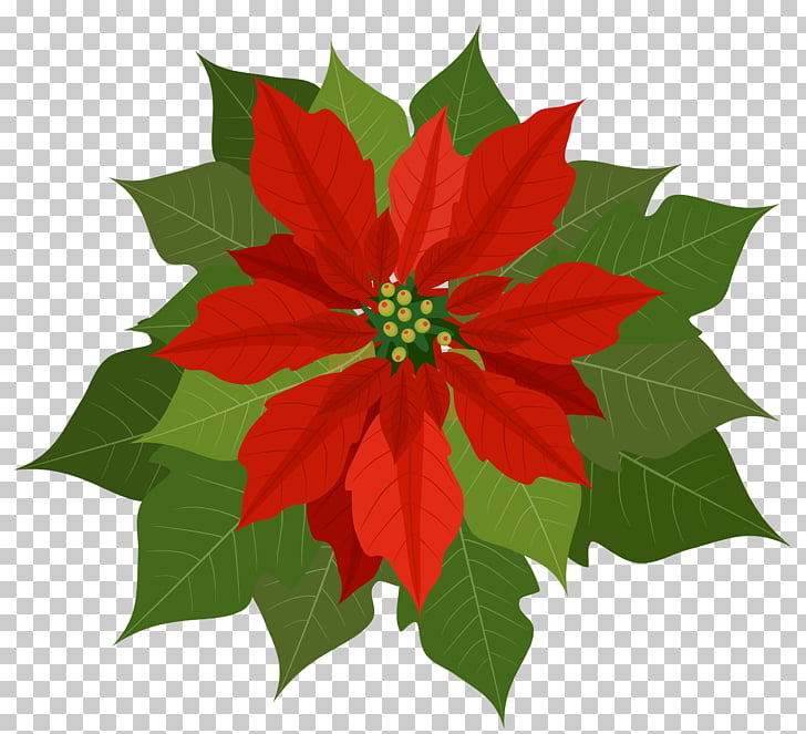 Poinsettia free pull material PNG clipart.