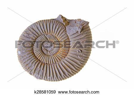 Stock Photograph of Ammonite, White Jura, Germany k28581059.