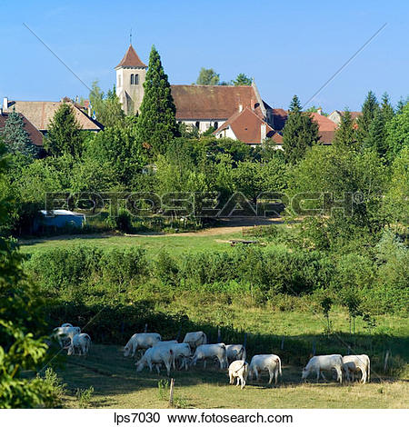 Stock Photography of white cows grazing and buvilly village jura.