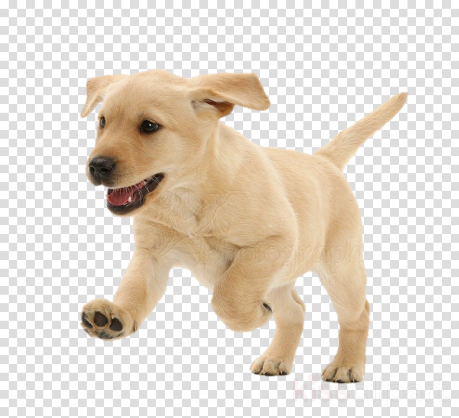 dog dog breed white puppy labrador retriever clipart.