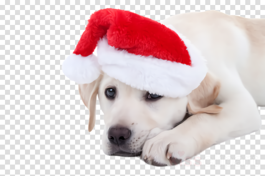dog puppy dog breed white labrador retriever clipart.